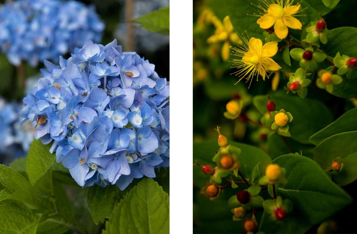 hortensie-blau-bullinger-gartengestaltung