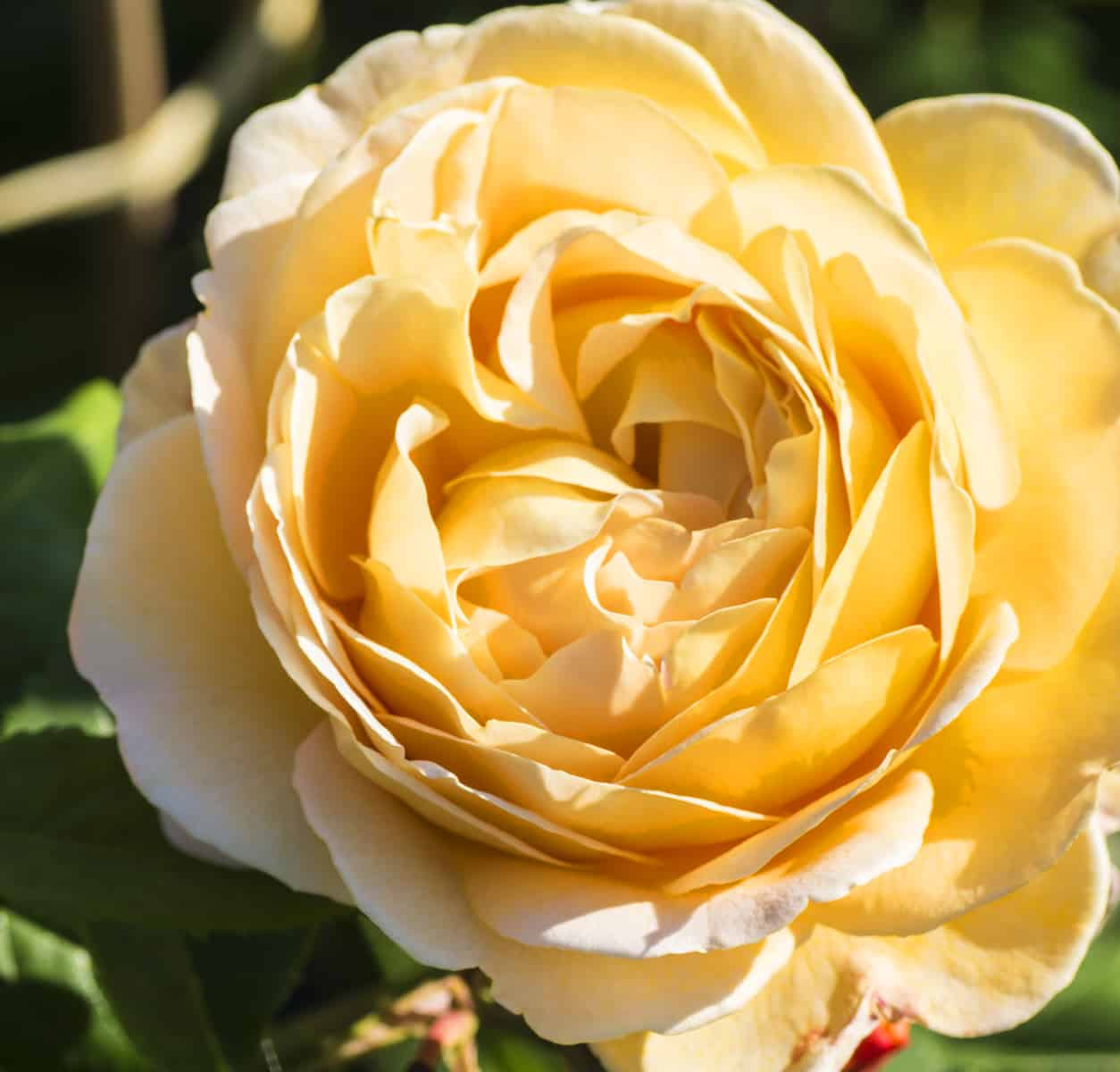 Gelbe Rosen für den Garten in Augsburg